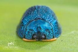 Florida tortoise beetle, Hemisphaerota cyanea